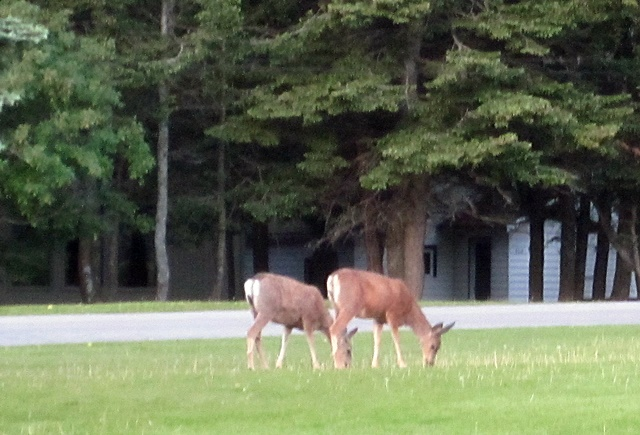 2075 Waterton Deer