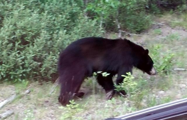 4035 Black Bear
