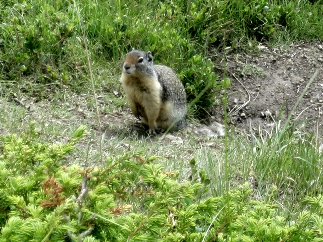 5035 Ground Squirrel